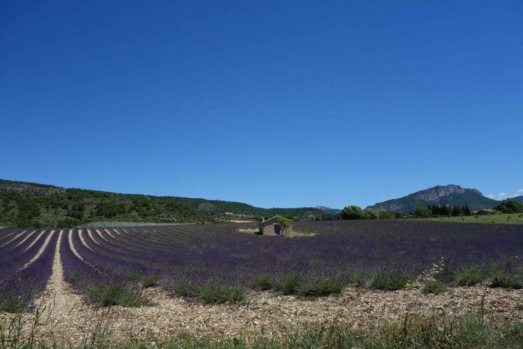 Levandulové plantáže v Provence